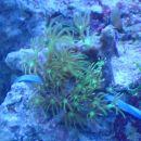 Pachyclavularia violacea 11.11. z bolj modrosvetlobo, da se bolje vidi kako fluorescentna