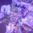 Pachyclavularia violacea 9.11. To je najuspešneši košček te korale. Imam tri, zadnjega no