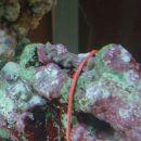 Pachyclavularia violacea  - ta je šele 12.11. pokazala ven dva polipa, drugače pa je skora
